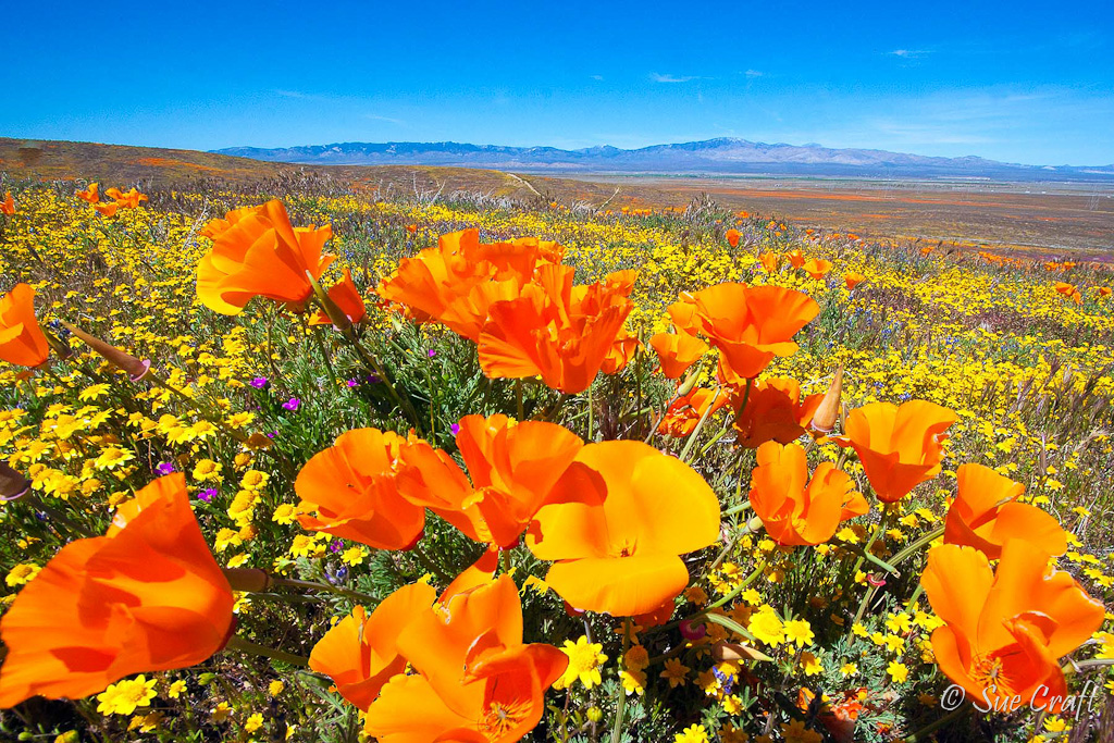 Antelope Valley California Poppies