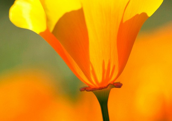 California Poppy II