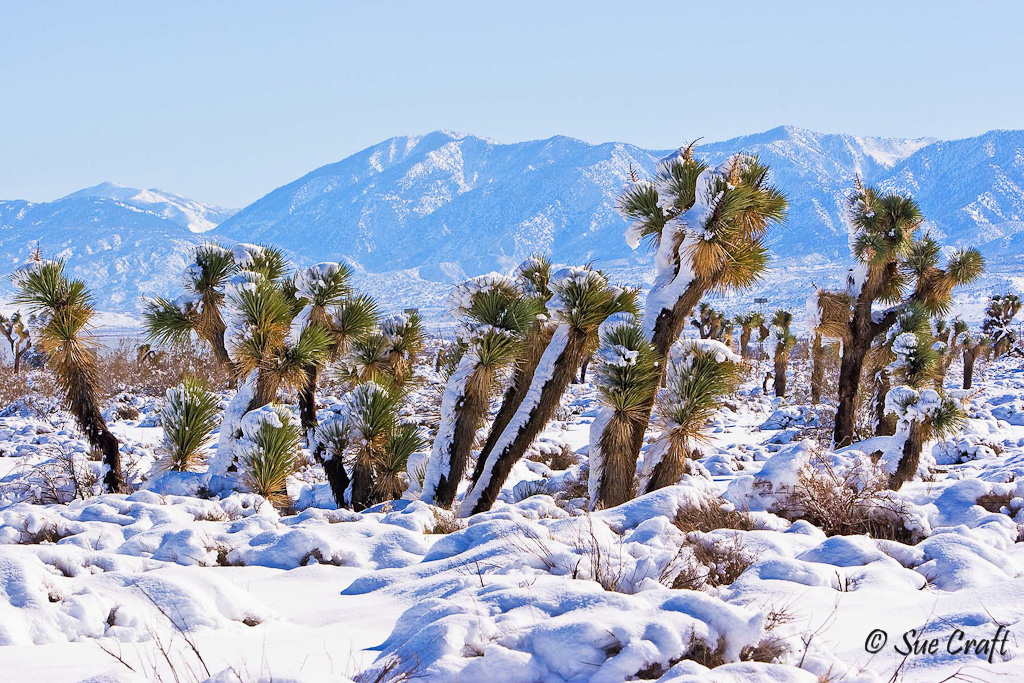 Antelope Valley joshua trees in the snow