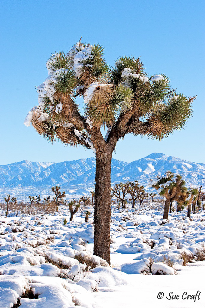 Antelope Valley joshua tree in the snow